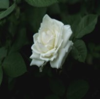 Cobourg White Rose